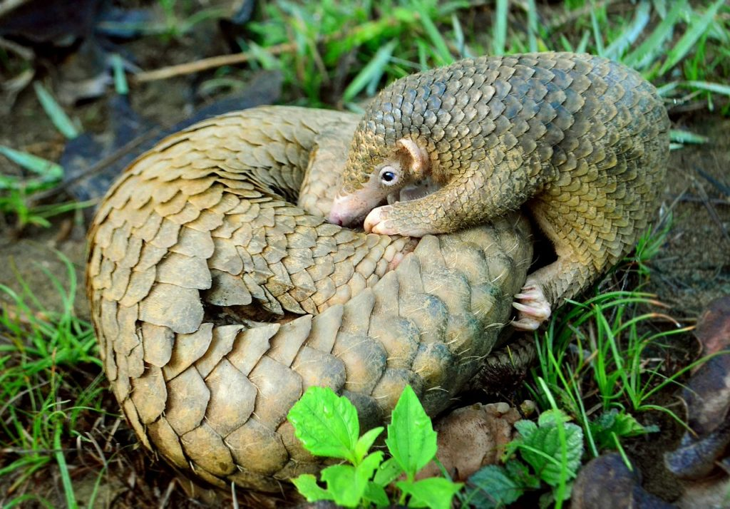 Philippine Pangolin Curled up by Gregg Yan